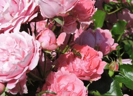 Rosen im Garten